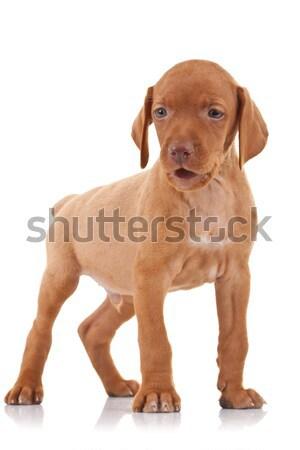 vizsla puppy standing Stock photo © feedough