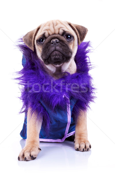 clothed pug looking at the camera Stock photo © feedough