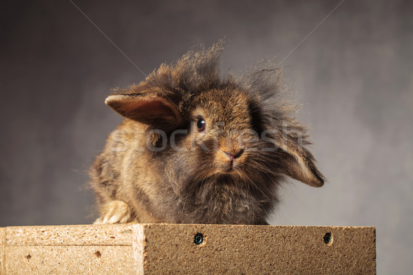 furry brown lion head bunny sitting on a woodbox. Stock photo © feedough
