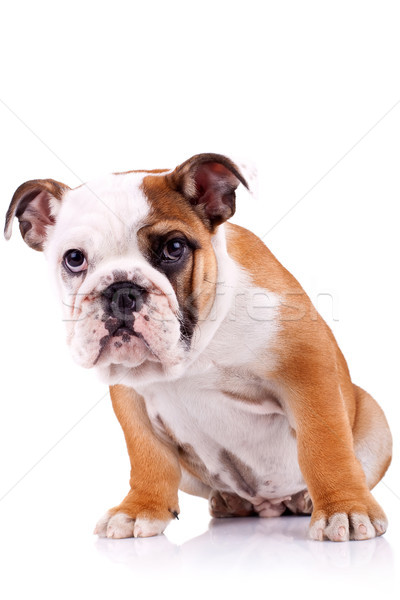 english bulldog puppy  looking at the camera Stock photo © feedough