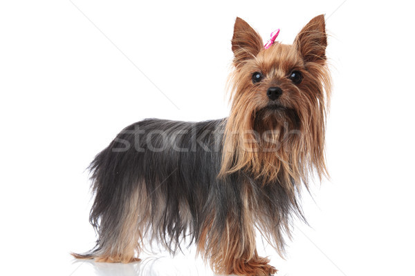 full body picture of a cute yorkshire terrier puppy dog Stock photo © feedough