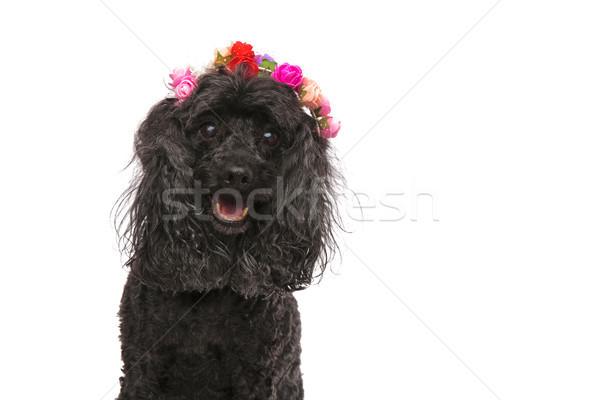 Primo piano felice barboncino indossare fiori corona Foto d'archivio © feedough