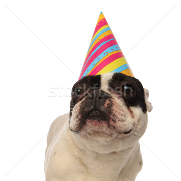 close up of a birthday french bulldog looking up Stock photo © feedough