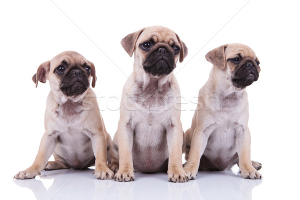 three adorable sad pugs looking to side while sitting Stock photo © feedough
