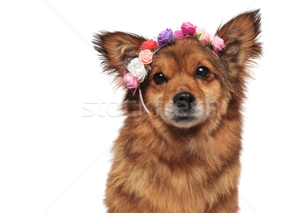 close up of adorable brown metis dog wearing flowers crown Stock photo © feedough