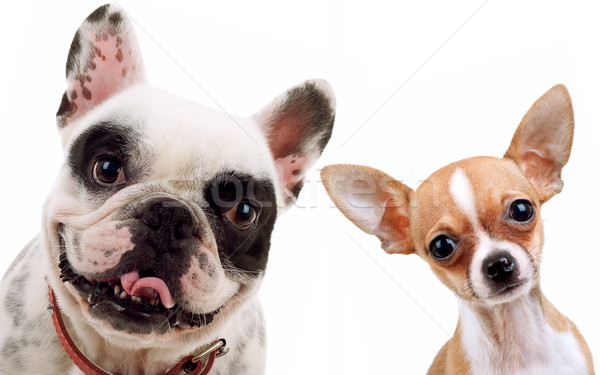 Stock photo: chihuahua and french bull dog