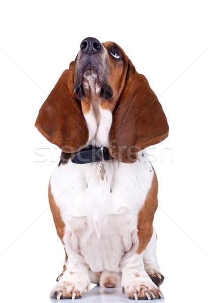 Basset Hound dog looking up  Stock photo © feedough