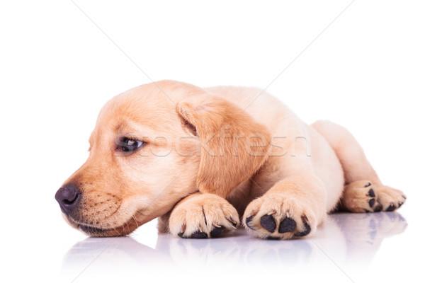 Triste pequeno labrador retriever cachorro cão cabeça Foto stock © feedough
