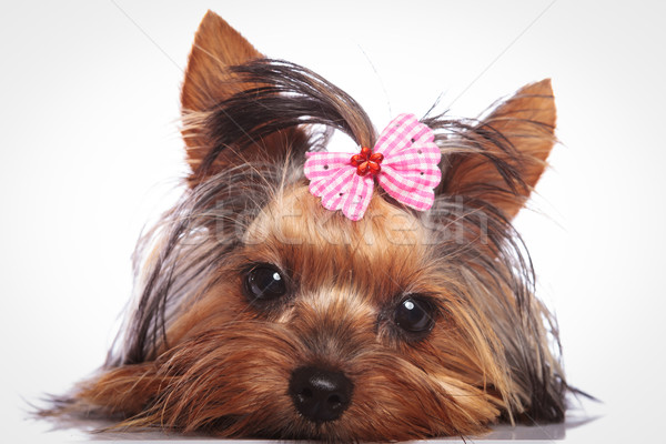 yorkshire terrier puppy dog is lying down to rest Stock photo © feedough