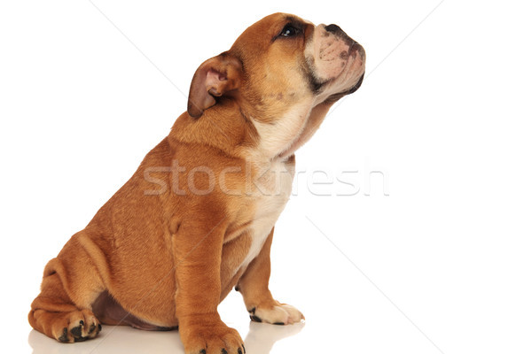Stock photo: side view of a small english bulldog sniffing