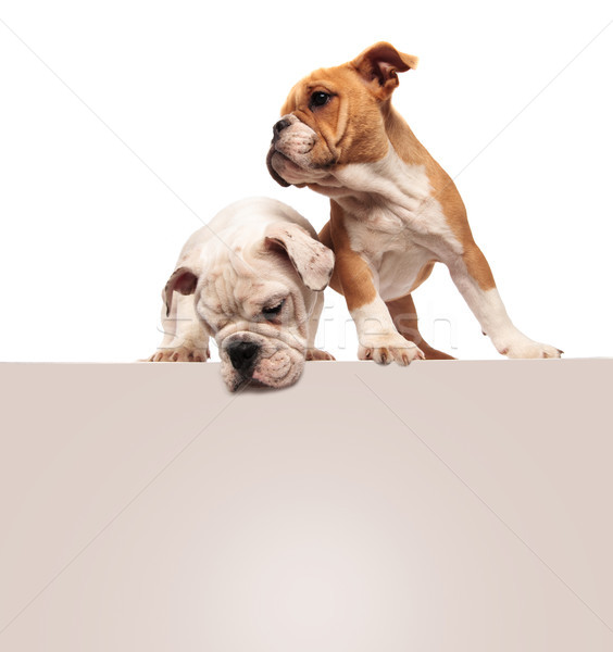 Stock photo: cute little english bulldog puppies standing above a blank board