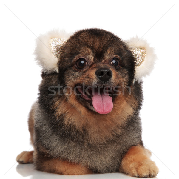 happy pom dog with white bear ears lying and panting Stock photo © feedough