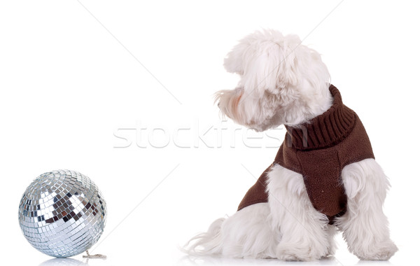 side picture of a bichon Stock photo © feedough