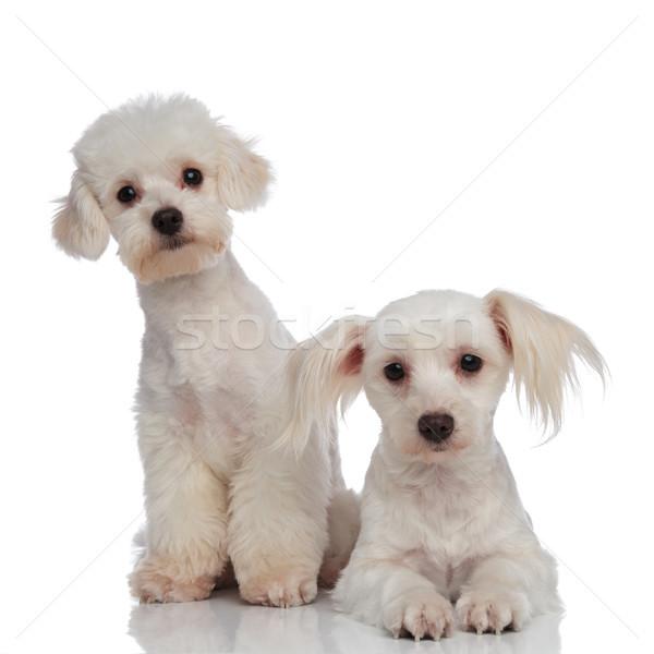 two little white surprised bichon puppies Stock photo © feedough