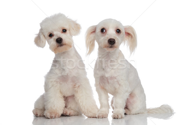 two curious funny white bichons sitting Stock photo © feedough