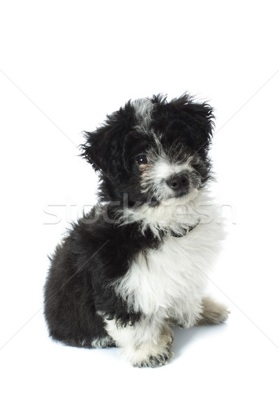 furry little adorable puppy looking at camera Stock photo © feedough