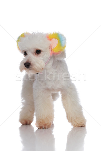 Stock photo: little bichon with colorful ears headband looks to side