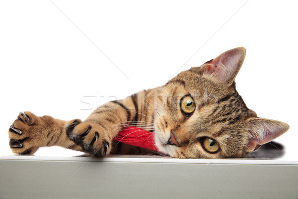 adorable classy british fold lying on side with paw hanging Stock photo © feedough