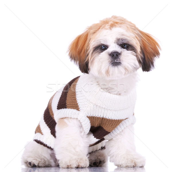 Stock photo: curious little shih tzu puppy, wearing clothes