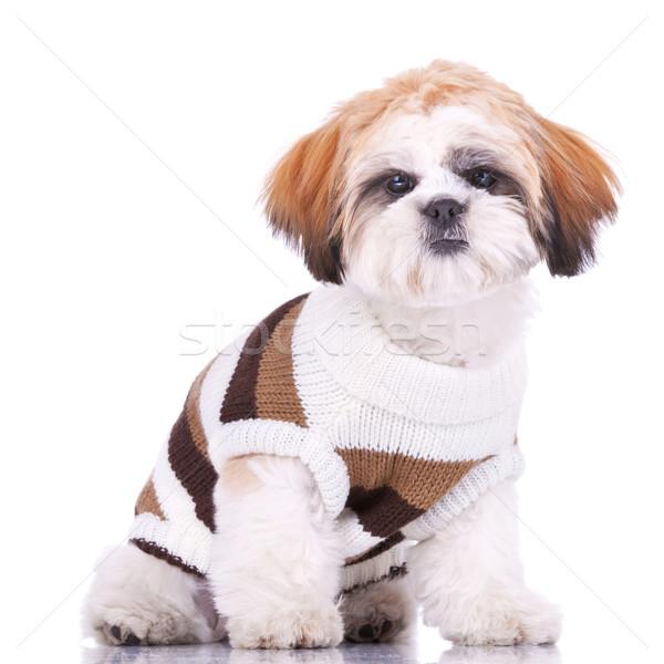 Meraklı küçük köpek yavrusu elbise arka plan Stok fotoğraf © feedough