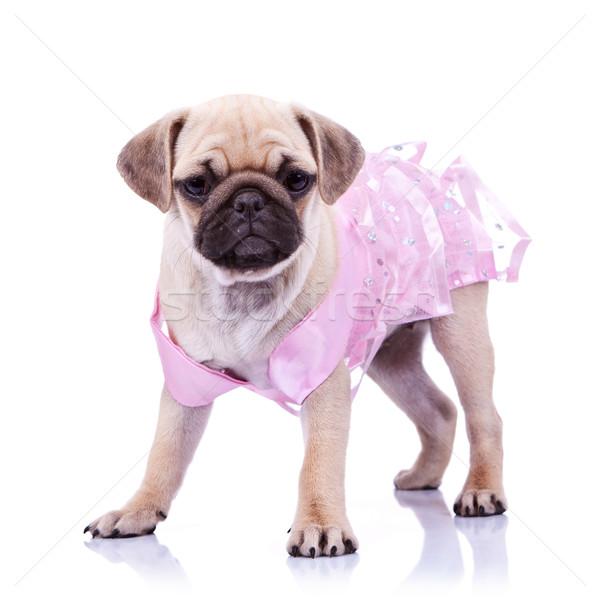 curious pug puppy dog wearing pink dress Stock photo © feedough