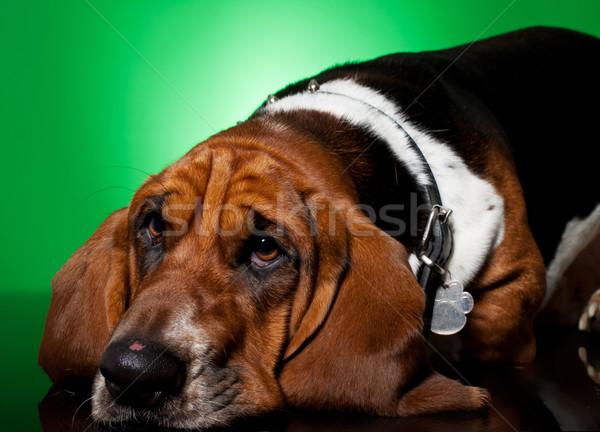 sad looking basset hound's face Stock photo © feedough