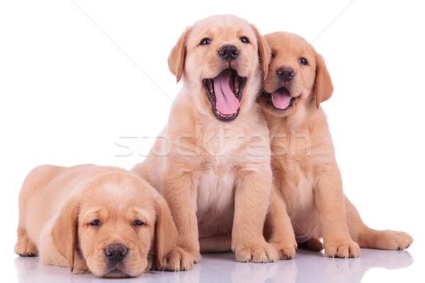 Három labrador retriever kutyakölyök kutyák kettő egy Stock fotó © feedough