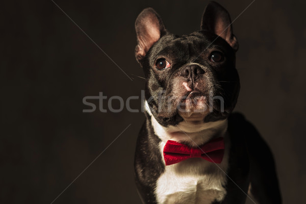elegant french bulldog puppy  wearing red bow tie posing Stock photo © feedough