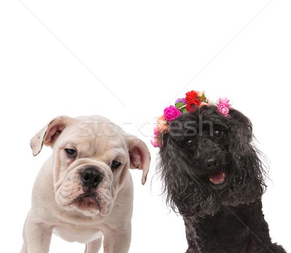 Stok fotoğraf: Iki · mutlu · köpekler · poz · kamera · beyaz