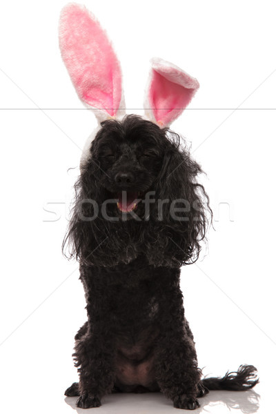 Pâques caniche lapin oreilles rire Photo stock © feedough