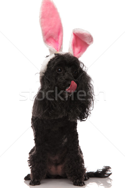 black poodle wearing easter bunny ears locks its nose Stock photo © feedough