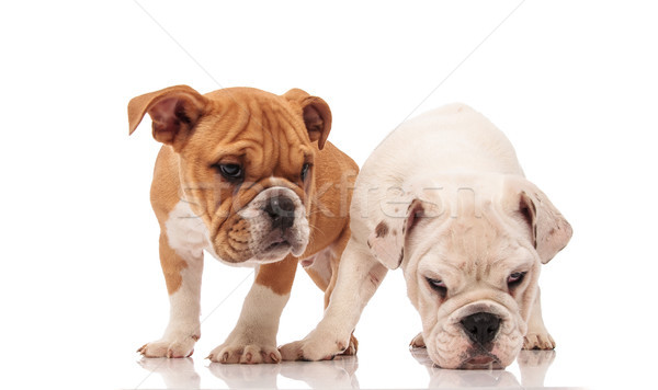 white english bulldog puppy picks up a scent Stock photo © feedough