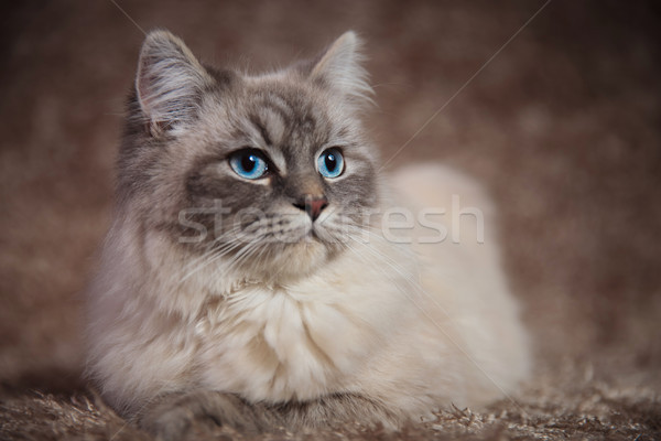 beautiful young cat looks to side while lying on fur  Stock photo © feedough
