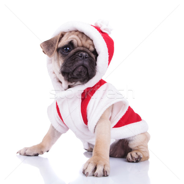 side view of adorable santa pug looking to side Stock photo © feedough
