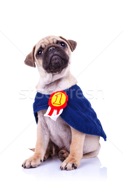 cute little pug puppy dog champion sitting Stock photo © feedough