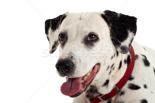 Dalmata kutyakölyök portré piros izolált fehér Stock fotó © feedough