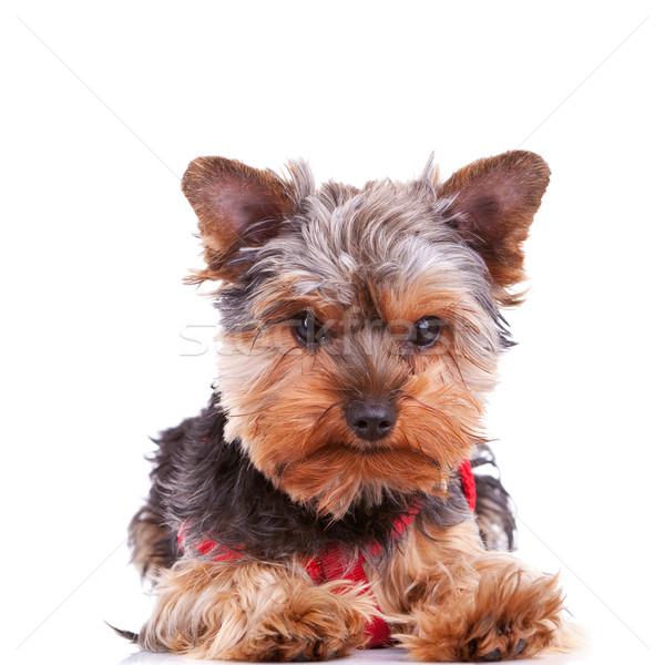 cute yorkshite puppy dog lying down Stock photo © feedough