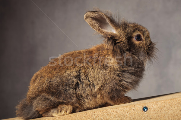 Full body of a brown lion head rabbit bunny sitting Stock photo © feedough