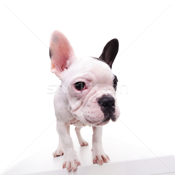 portrait of a standing frenchie standing Stock photo © feedough