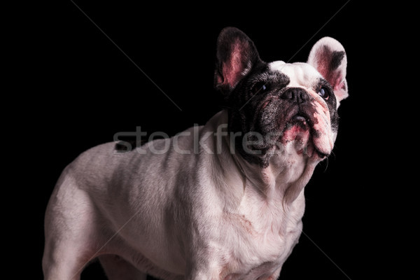 adorable nine years old french bulldog female standing  Stock photo © feedough