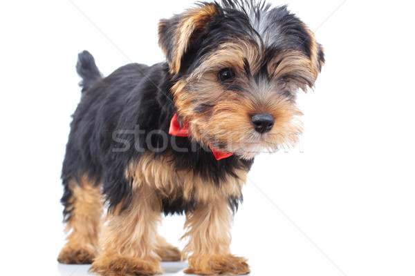 side view of a standing little dog wearing bowtie Stock photo © feedough