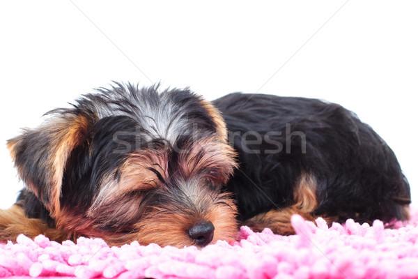 little yorkie puppy sleeps on a carpet  Stock photo © feedough