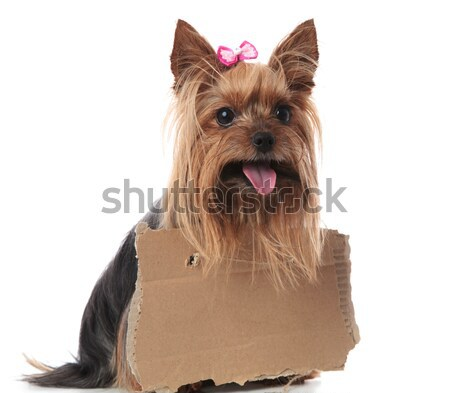 Faminto pequeno yorkshire terrier nariz Foto stock © feedough