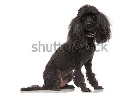 old black poodle sitting  Stock photo © feedough