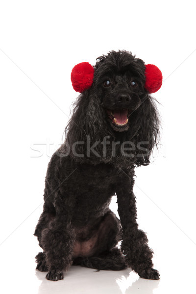 happy black poodle wearing fur earsmuffs and sits Stock photo © feedough