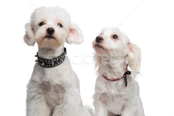 Cute сидящий белый сторона собака Сток-фото © feedough