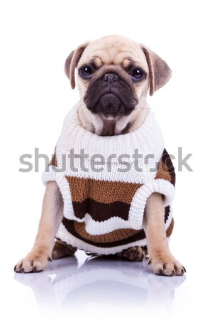 adorable pug with cozy sweater looks to side Stock photo © feedough
