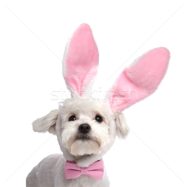 adorable bichon with pink easter bunny ears and pink bowtie Stock photo © feedough
