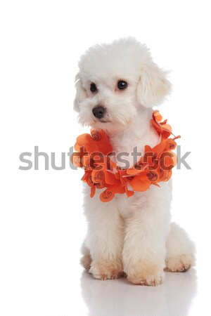 curious bichon wearing orange flowers garland looks to side Stock photo © feedough