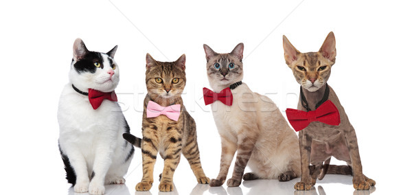 group of four gentleman cats wearing elegant bowties Stock photo © feedough